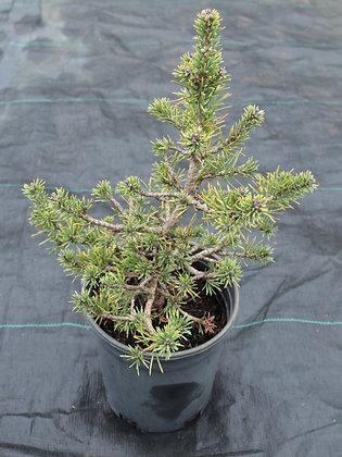 Pinus sylvestris 'Laponicum'