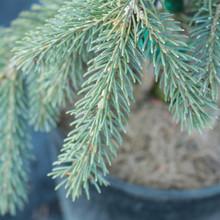 Picea glauca Pendula detail - CROPPED.jp