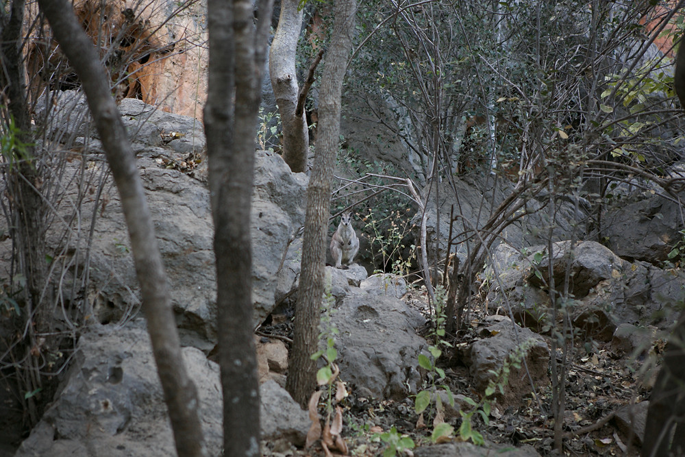 Spot the rock wallaby!