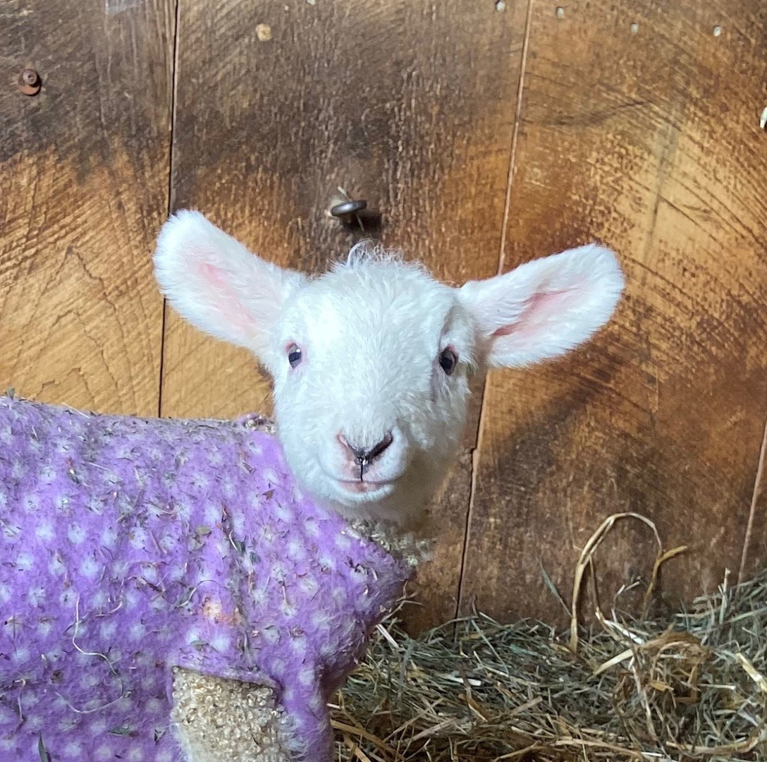 lamb in purple coat .jpeg