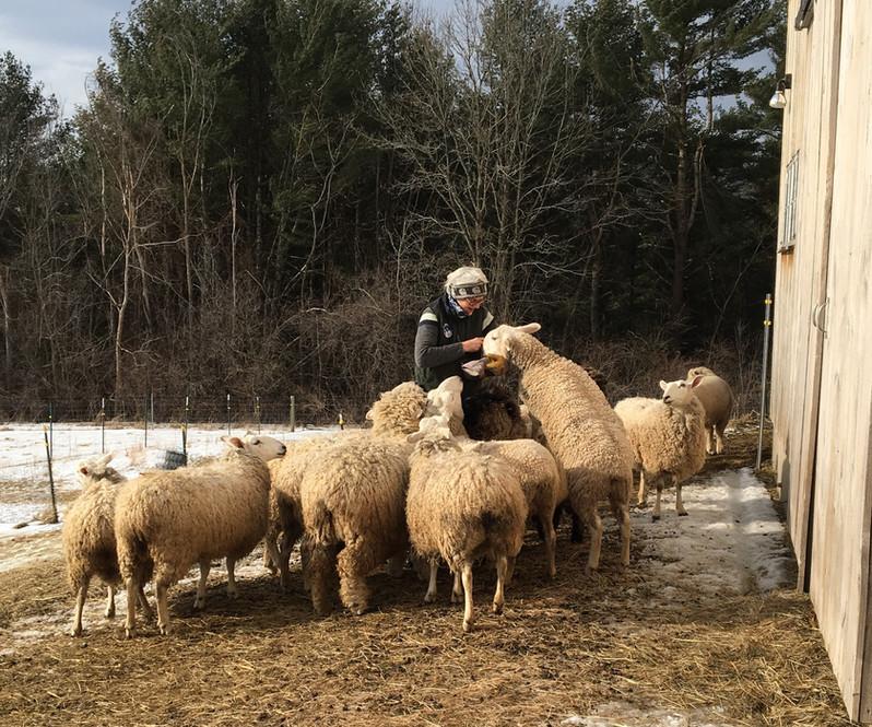 katherine sheep.jpg