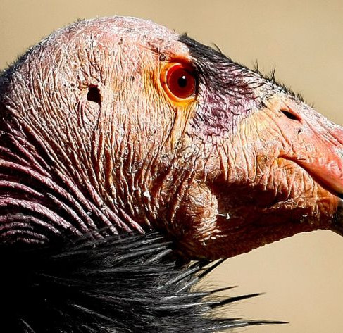 A Conservation Success Story: California Condors