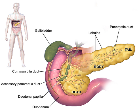 anatomija gušterače.png