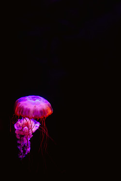 JCA_Jellyfish_vert
