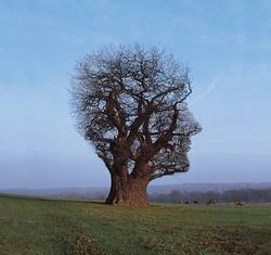 Norwood tree