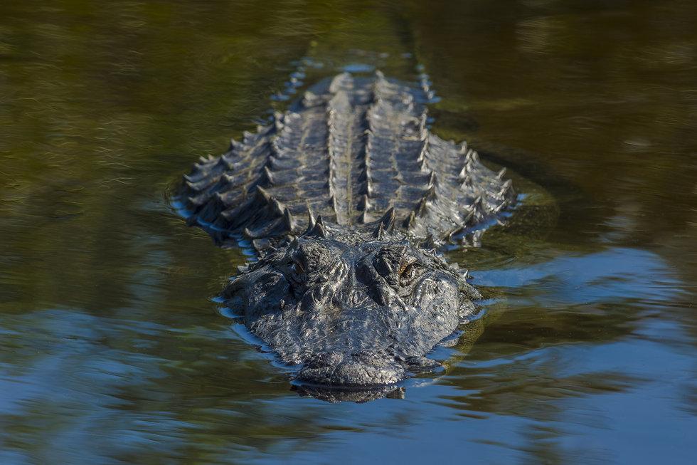 Sly Gator.jpg