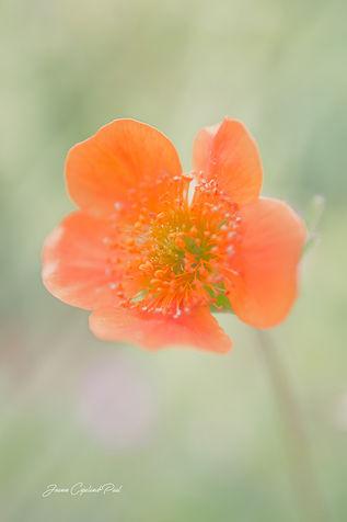 Orange Icelandic Poppy.jpg