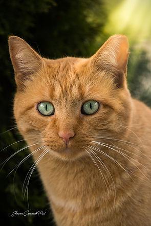 Orange Tabby Cat.jpg