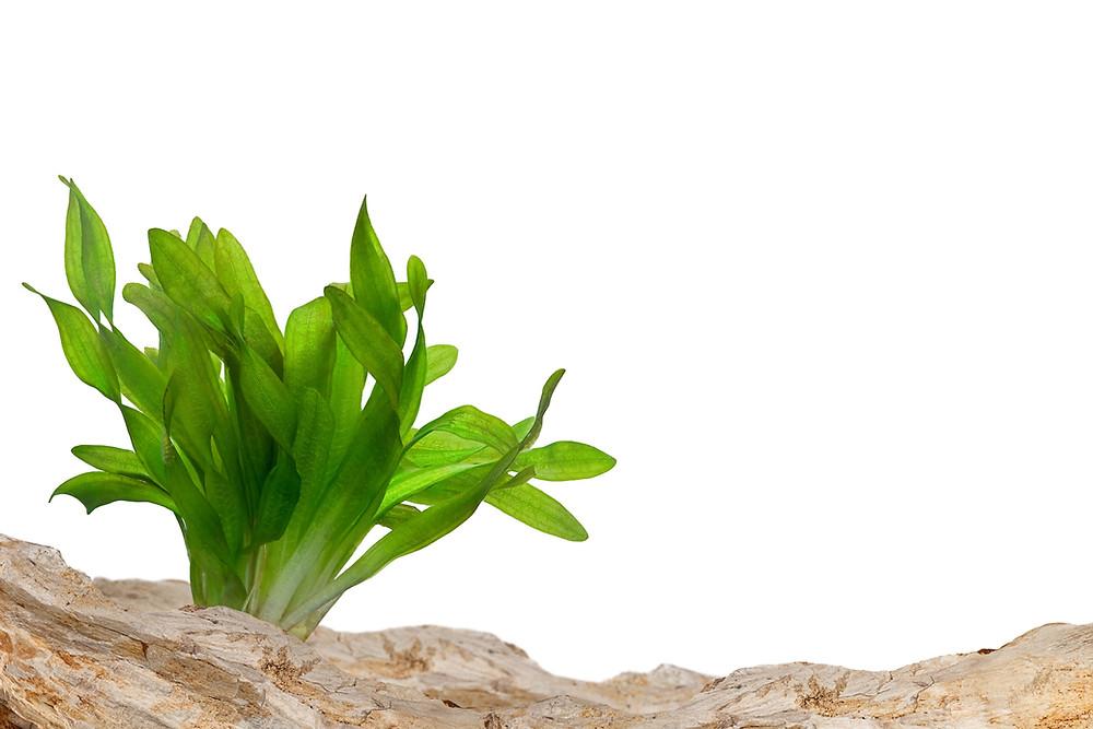 צמח בתוך אקווריום