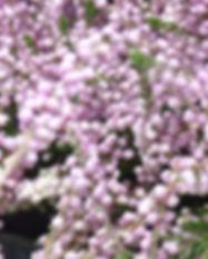 Closeup_Heide.jpg