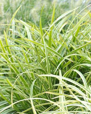 Gräser.jpg