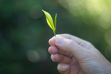 One leaf and a bud.jpg