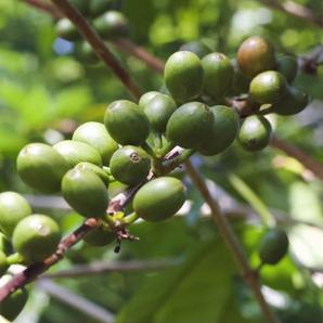 green coffee cherries.png
