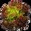 Thumbnail: 嘉義縣中埔鄉無毒水耕蔬菜:紅皺萵苣 Red coral