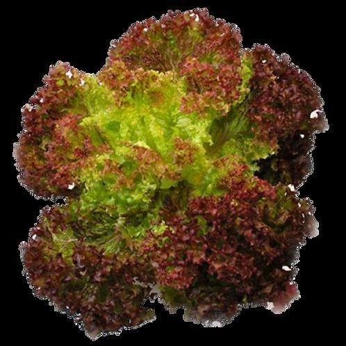 嘉義縣中埔鄉無毒水耕蔬菜:紅皺萵苣 Red coral