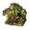 Thumbnail: 嘉義縣中埔鄉無毒水耕蔬菜:紅捲萵苣 Red iceberg
