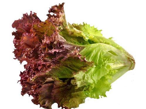 嘉義縣無毒水耕蔬菜:紅火焰萵苣 Red Flame Lettuce