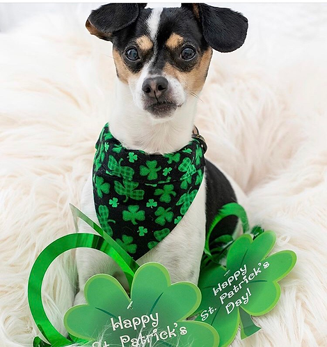 Saint Patrick's Shamrocks Dog Bandana