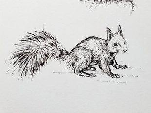 *NEW* Red Squirrels Coming Soon