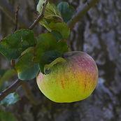 Gravensteiner, Bio Äpfel, Alte Sorte, Altes Land