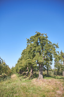 100 jähriger Birnenhain