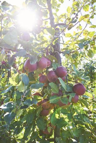 Bio Apfelbaum