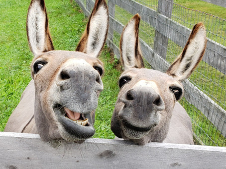 Purchasing Your First Donkey