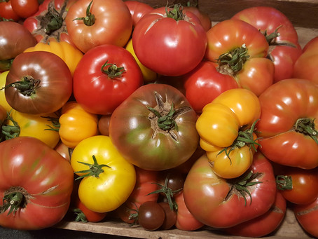 Heirloom Tomatoes for Today's Garden