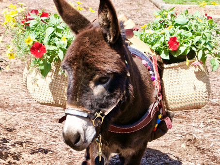 Training Donkeys is Different than Training Horses