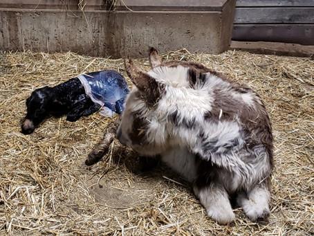 Case Study-Do Donkeys Give Birth Near Full Moon?