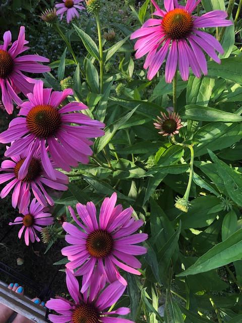 keeping pollinators happy with echinacea