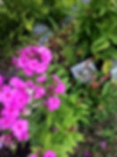 pink phylox.jpg