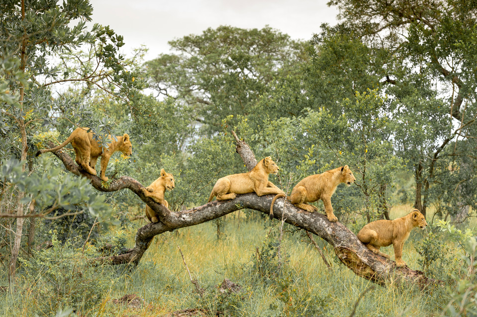 431mm x 305mm Lion Cubs on Branch.jpg