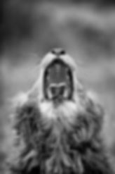 Male lion yawning photgraphed by wildlife photographer Ross Couper for his wildlife photography galley taken in South Afrca