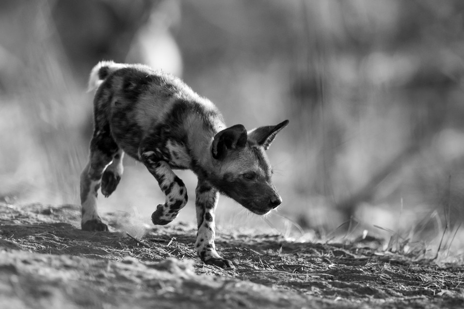 Wild Dog | Black and White