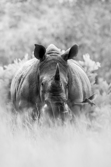 BLACK_AND_WHITE_Portrait_Rhino_Ross_Coup