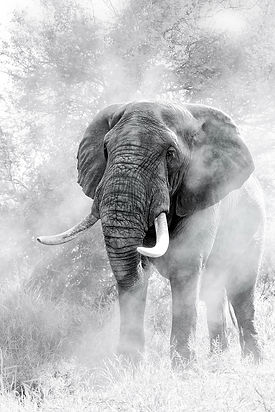 African Elephant photgraphed by Top Wildlife Photographer Ross Couper for his wildlife photography galley taken in South Afrca