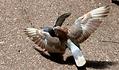 Image du film aile de pigeons de Georges Rey. Parade d'amour de piegons avec leurs ailes déployées.