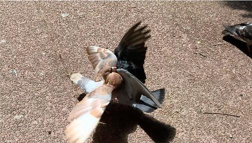 image extraite d'une vidéo ailes de pigeons ou deux pigeons procèdent à une parade amoureuse