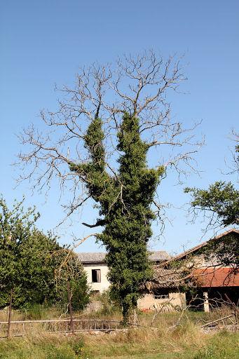Envahissement de lierre sur un arbre sans feuille, du tronc jusqu'a la cime