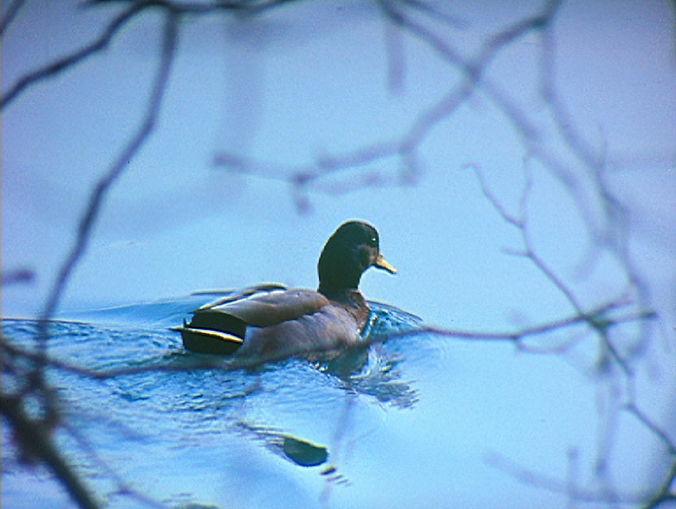 Image extraite du film canard de Georges Rey. Un petit canard flotte sur une eau bleuté derrière un branchage.