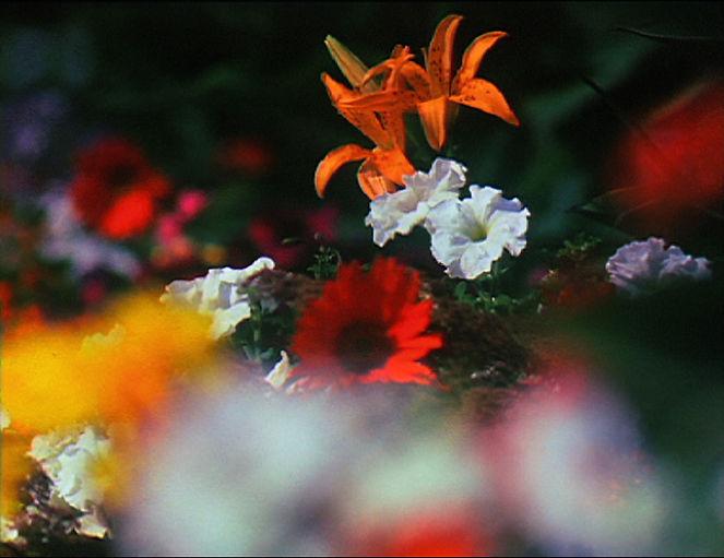 Image extraite d'un film de Georges Rey Fleurs. Abondance de fleurs dont certaines sont floues. Lys, pétunias, marguerite rouge