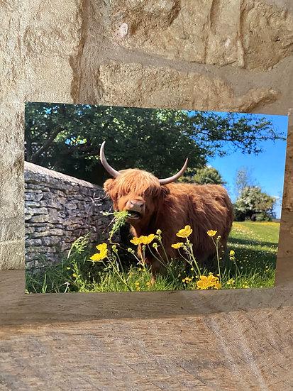 Highland Cow - Minchinhampton