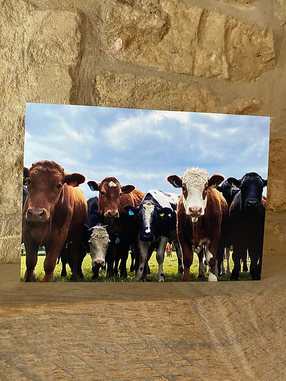 Cows - Minchinhampton