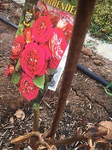 Rose-Trveor MacNeill-1.jpg