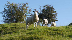 Papermill Cottages, Tealby - sheep