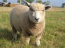 Hall Farm Park - sheep