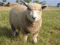 Hall Farm Park - sheep