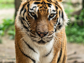 What tigers are you facing? An inquiry into your leadership