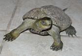 caspian-turtle.jpg